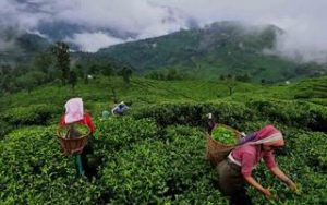 Picture of Assam tea pickers from MakeMyTrip