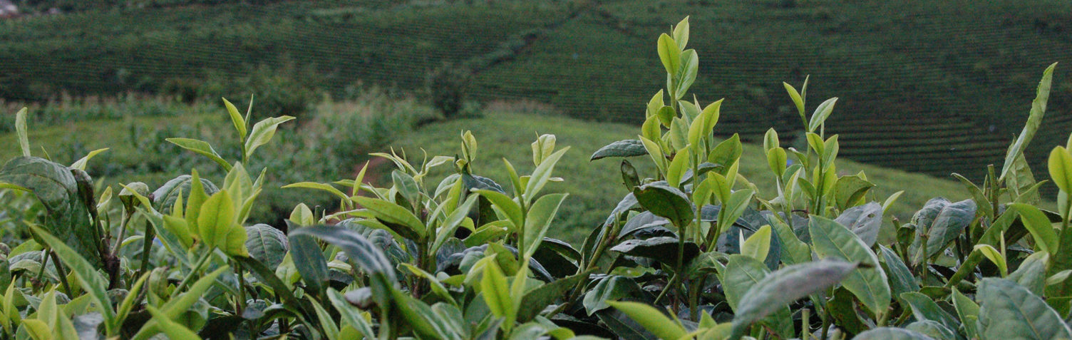 Bringing you the freshest teas from tea makers across China