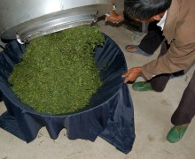 Fried tea leaves being poured out of the rolling fryer into a basket lined with fabric.