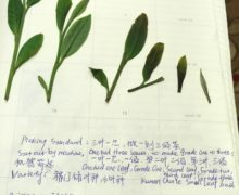 Several flattened fresh plucked leaves on a notebook page displaying the Breakfast Qimen plucking standards for grades 1-3 in the 2015 harvest season.