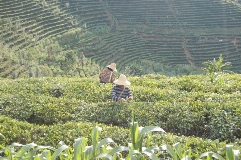 Palce Puer tea garden