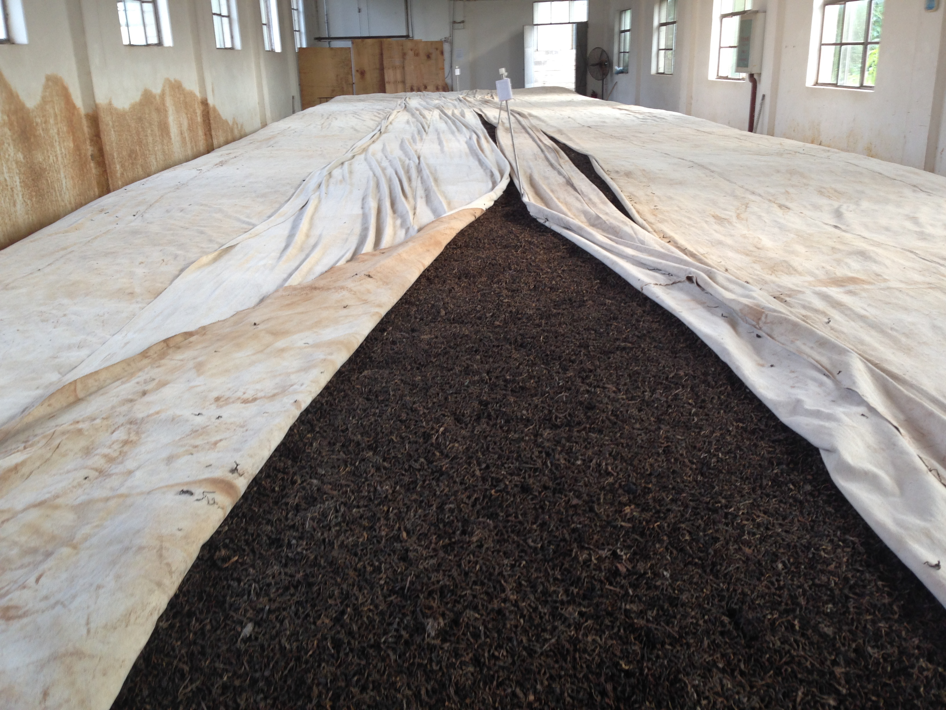 A very large pile of ripening shu puer teaves, partly covered with cloth.