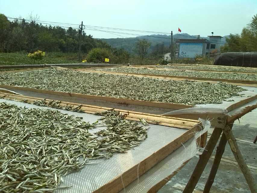 Silver Needle white tea drying naturally on large raised trays outdoors in the sun.