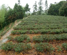 Rows of low tea bushes in the garden, surrounded by trees, with a path down the left side.