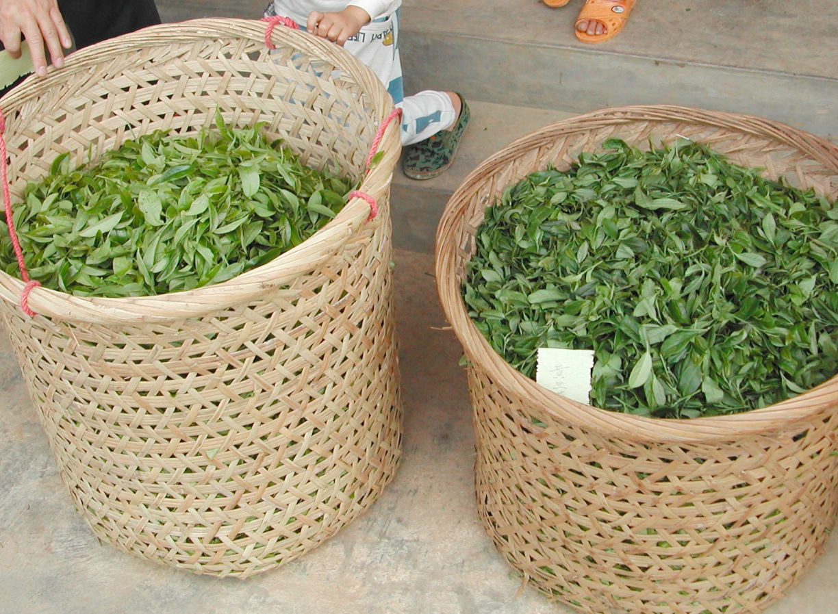 Dan Cong tea leaves that have just been carried back from the field are labeled with the date and time.