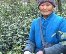 An elderly person in a coat and hat standing among the tea plants.