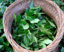 A woven basket full of fresh plucked tea leaves on the sprig.