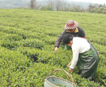 Tea pickers picking white tea