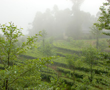 fog surrounded tea garden.