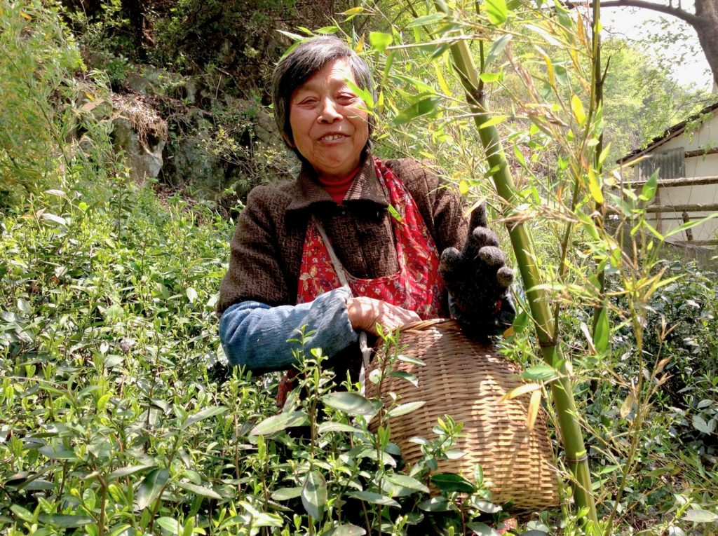 A smiling older woman in an apron and carrying a woven basket for Guzhu Zisun green tea leaves, standing between tea bushes and some bamboo.