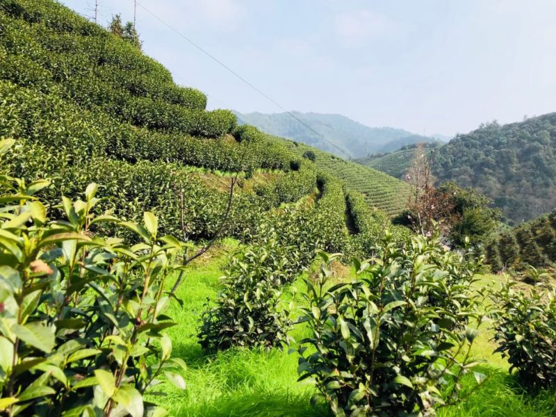 A steep hill lined with neat rows of short tea bushes in Anji County.