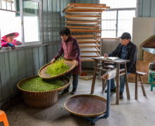 A woman holding a tray of fresh Mogan tea leaves to sort them. Around her, a person watches through the window ready to hand through more leaves, a rack of trays waits to receive the sorted leaves, and a man at a scale waits to weigh them.
