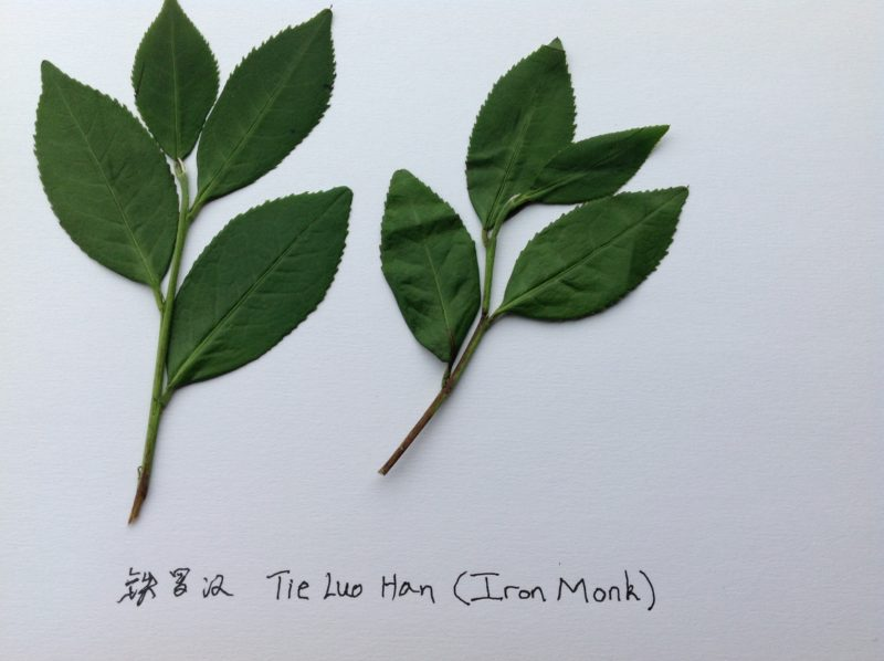 Two slightly withered sprigs of fresh Tie Luo Han tea leaves flat on a white page. Each has four leaves, and the last on the tip of the sprig is smallest.