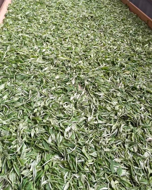 White Moonlight (Yue Guang Bai) tea leaves withering on a long tray.