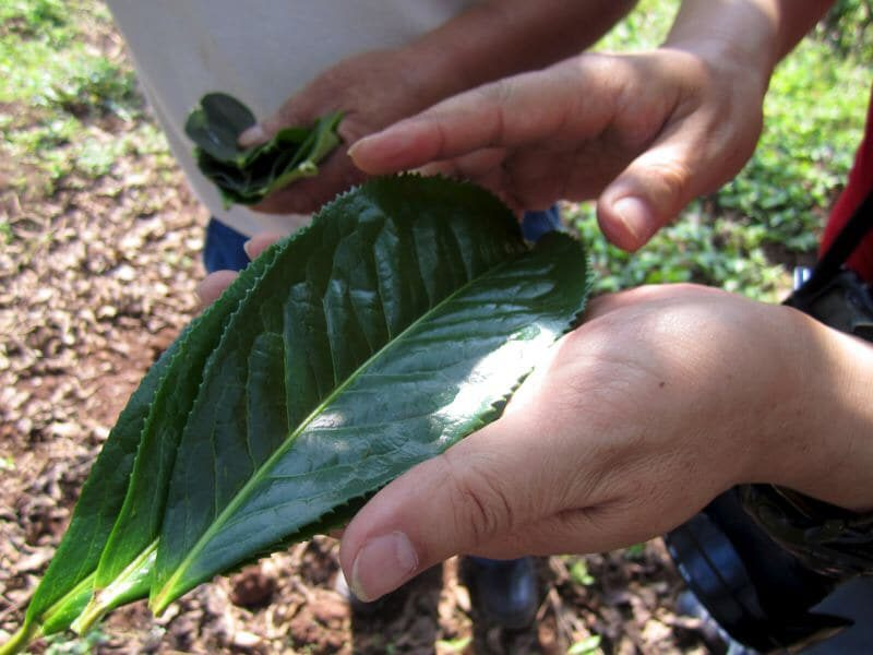 Mature palm-sized tea leaves from the Jing Gu Da Bai tea trees that White Moonlight is made from.
