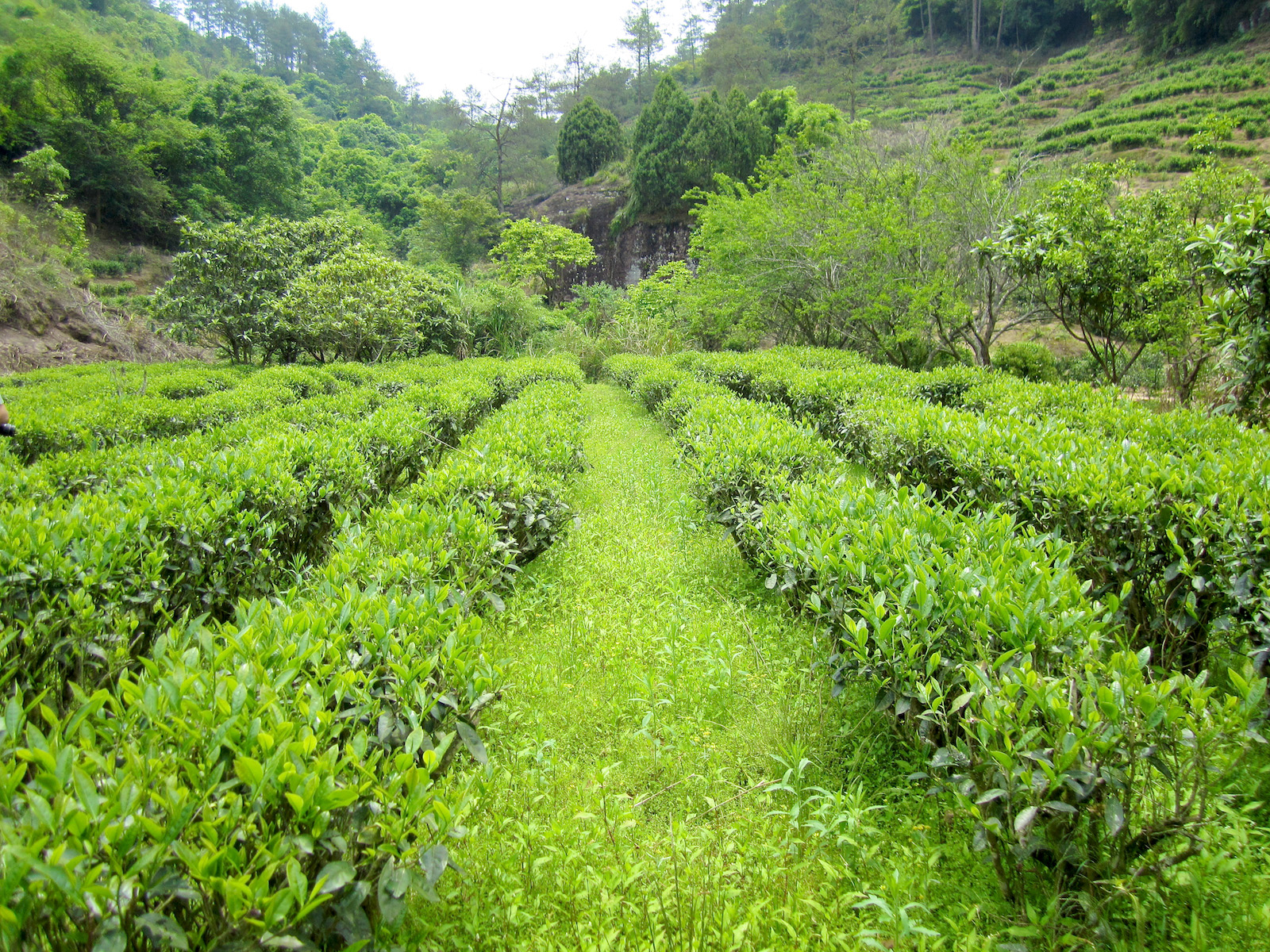 View looking straight down the grassy space between rows of green Junshan Yinzhen tea bushes in a small valley surrounded by forest trees.