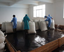Workers opening large bags of Sweet Dragon Ball Shu Puer maocha and piling up for ripening