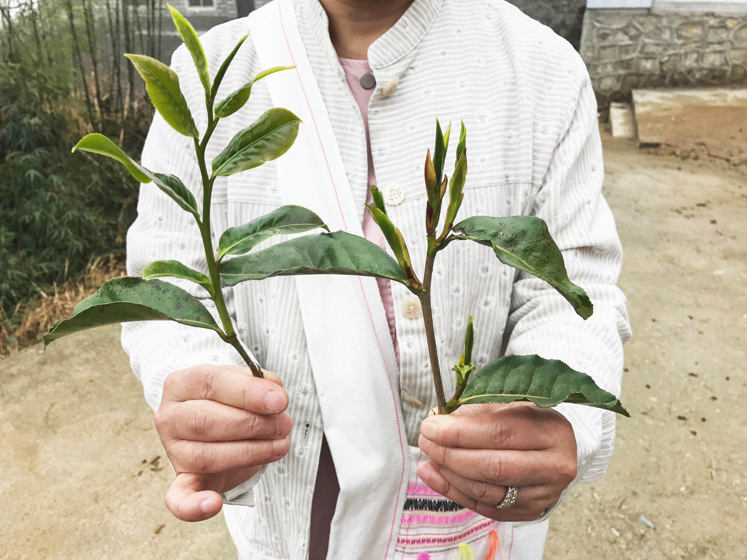 A person holding up two tea branches with young leaves, one with a long sprawling sprig with spread leaves and the other with small compact new growth.