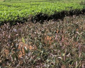 A row of purple Zi Juan tea bushes in front of a row of regular green tea plants, showing the drastic difference in color.