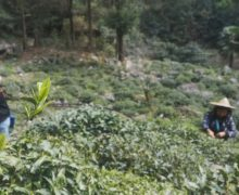 Green sprigs of fresh tea growing on the bush in the foreground, with two tea pluckers harvesting leaves out of focus in the background.