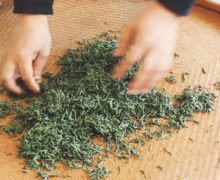 Loosening tightly kneaded Tongmu tea leaves with both hands on a bamboo tray.