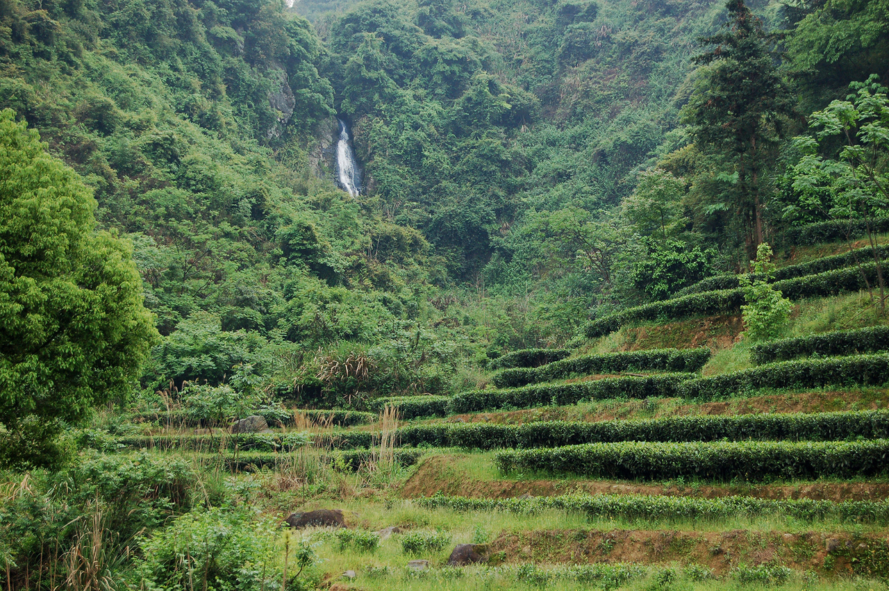 Tea bushes planted in terraces in a pristine valley in Fujian with a natural waterfall.