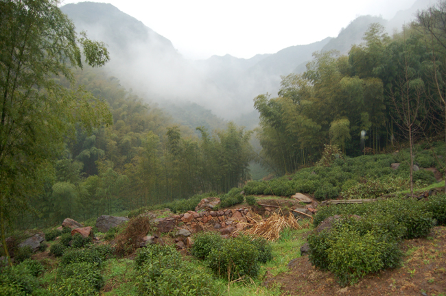 Rolling green hills with tea bushes planted along a stone wall in the foreground. Forested peaks and a white fog hangs in the background..