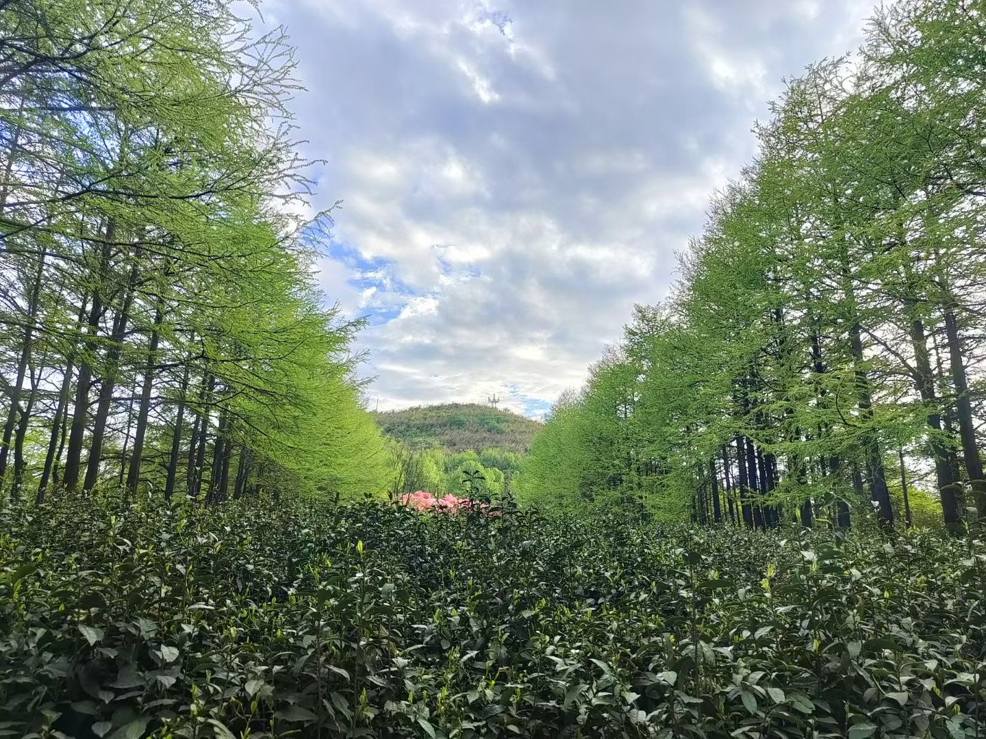 A small garden full of low tea bushes is framed by rows of tall trees, with the near peak of the mountain rising in the background.