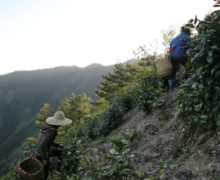 Two people carrying large woven baskets climbing to the top of a mountain ridge dotted with tea bushes in the dawn light.