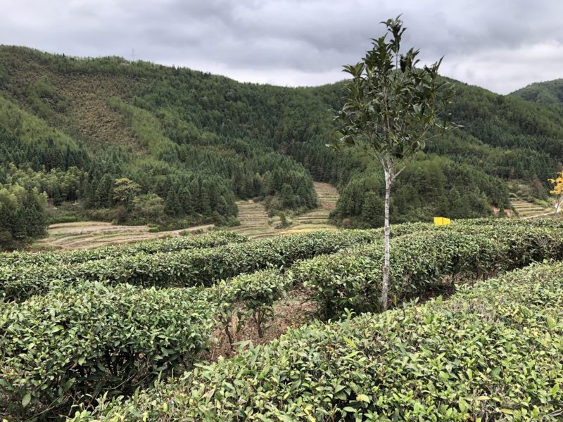 Rows of tea bushes in Mr. Chen's organic Fujian tea gardens in a valley next to a forested hillside on a cloudy day. A young tree grows among the rows.